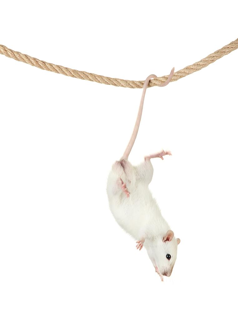 賢いネズミのジャッキー